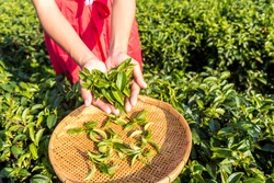 Farmer picking tea leave in the terraced tea fields. Young woman collecting some green tea leaf.Tea is traditional drink in some country at asia as japan, Thailand, vietnam, china, korea.