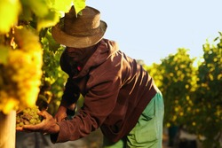 Farmer picking up the grapes during harvesting. Man cutting grapes in vineyard.