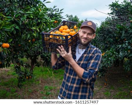 Farmer picks tangerines. Men in the green garden with fruits.