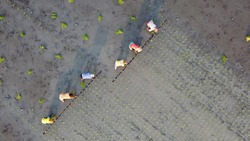 Farmer planting rice on a beautiful field in Ubud Bali view from above