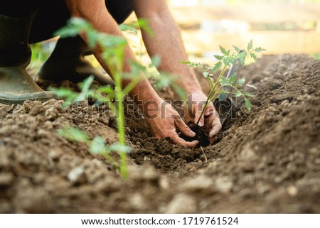 Farmer planting tomatoes seedling in organic garden  ストックフォト ©