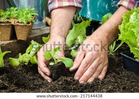 Farmer planting young seedlings of lettuce salad in the vegetable garden #217144438