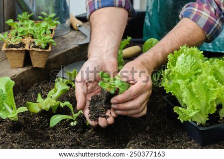 Farmer planting young seedlings of lettuce salad in the vegetable garden #250377163