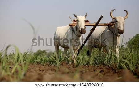 Farmer ploughing field using wooden plough. #1548796010