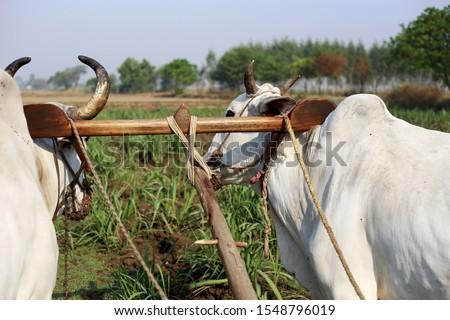 Farmer ploughing field using wooden plough. #1548796019