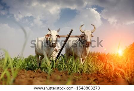 Farmer ploughing field using wooden plough. #1548803273