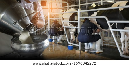 Farmer pouring raw milk into container and milking raw milk from cows in dairy farm on background