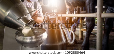 Farmer pouring raw milk into container with milking machine milking in dairy farm.
