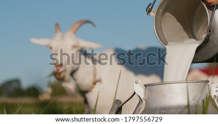 Farmer pours goat's milk into can, goat grazes in the background Foto stock ©