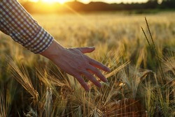 Farmer's hand touching wheat spikes at sunset