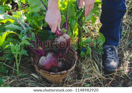 Farmer's hands picking red beets in the orchard.