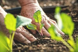 Farmer´s hands planting kohlrabi seedling in vegetable garden. Gardening at spring. Homegrown produce in organic farm