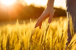 Farmer's hands touch young wheat in the sunset light