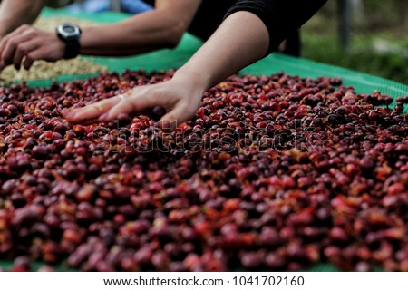 Farmer's hands were drying coffee cherries.