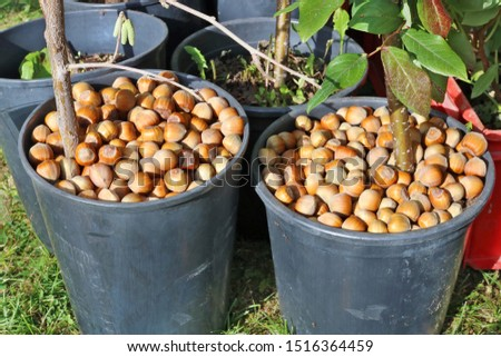 Farmer sells hazelnuts and garden hazel seedlings at a traditional autumn fair