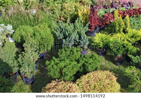 Farmer sells self-grown  decorative  garden  plants and trees  in a green meadow. Sunny September day landscape