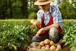 farmer show his organic potato harvest at field