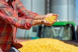 Farmer Showing Freshly Harvested Corn Maize Grains Against Grain Silo. Farmer's Hands Holding Harvested Grain Corn. Farmer with Corn Kernels in His Hands Sitting in Trailer Full of Corn Seeds.