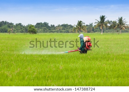 Farmer spray the fertilizer in green rice field.