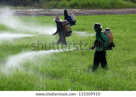 farmer spraying pesticide in paddy field.