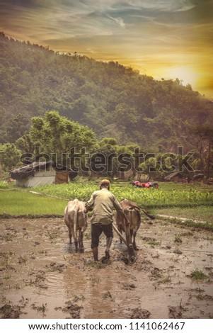 Farmer using cattle to plough rice paddy, rice planters in background
