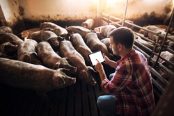 Farmer using tablet in pig pen while surrounded by group of pigs domestic animals. Working at pig farm.