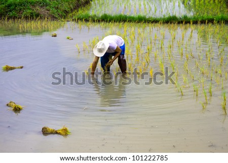 Farmer was transplanting on his land,old process of rice cultivation of Thailand\'s farmer
