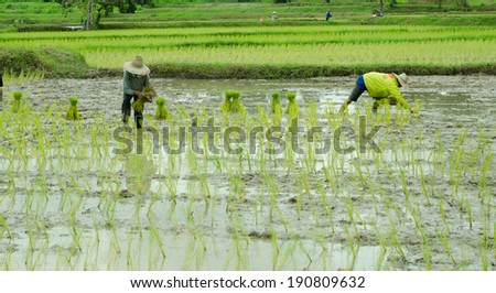 Farmer was transplanting on their land,old process of rice