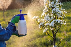 Farmer with protective gloves spraying a blooming fruit tree against plant diseases and pests. Using spray bottlewith pesticide in orchard at springtime