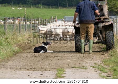 Farmer With Quad Bike And Sheepdog Herding Sheep