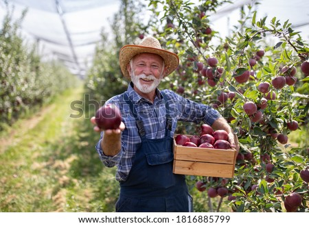 Farmer with straw hat holding crate full of red cif apples in orchard suring harvest in late summer time