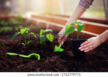Farmer woman hands planting sprouting vegetable seedling out of pot in soil working with rake and shovel in garden bed greenhouse at spring sunlight. Growing fresh greenery, organic gardening concept. ストックフォト ©