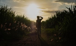 Farmer woman silhouette standing in the sugar cane plantation in the background sunset evening
