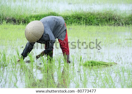 farmer working in paddy field