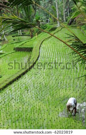 Farmer working in paddy field, Bali Indonesia.