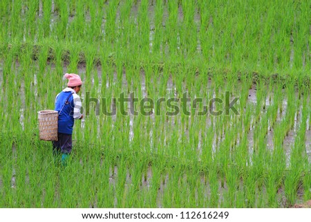 Farmer working on a terraced rice field at Mae Cham, Chiangmai, Thailand