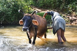 Farmer working to clean cow in a river/ lake, in a rural village in farm Wayanad, Kerala, India. Holy cow of Indian sacred animal getting a refreshing bath in the hot summer morning.