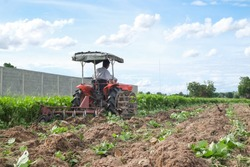 Farmers are driving tractors to plow soil the green beans to make organic fertilizer in agricultural fields with blue sky.