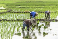Farmers are planting rice in the fields. Country Life , which is rare in the city.