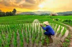 Farmers are planting rice in the rice fields at sunset,Rice field view at sunset with green rice plant being planted as a staircase in Chiang Mai, Thailand