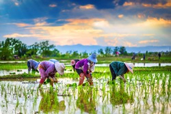 Farmers are planting rice in the rice paddy field on sunset.