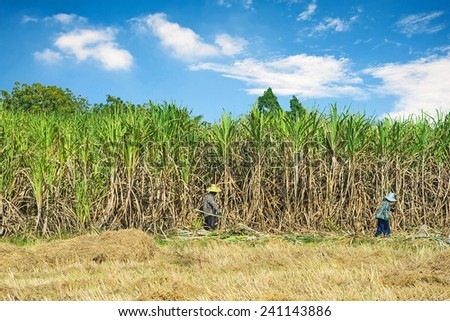 Farmers cutting Sugar Cane to be processed.