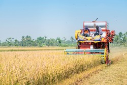 Farmers driving Harvester car during harvesting rice season at rice field farm in Thailand with clear sky and golden rice.