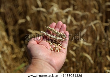 Farmers hand checking the maturity of grain