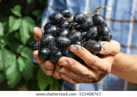 Farmers hands with bunch of grapes, outdoor