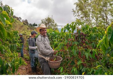 Farmers harvest coffee on coffee plantations, Jalapa, Guatemala