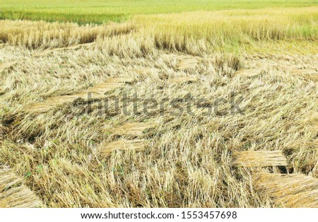 Farmers harvest rice and lay the fields in the fields.