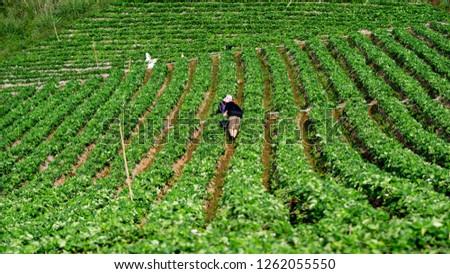 Farmers harvest strawberries at his farm. #1262055550