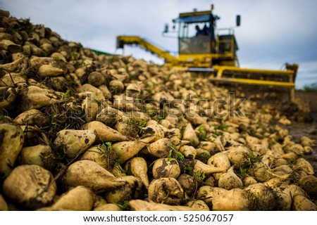 Farmers harvest sugar beet in a country field