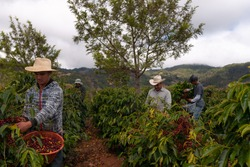 Farmers harvesting coffee in coffee plantations  of Guatemala.